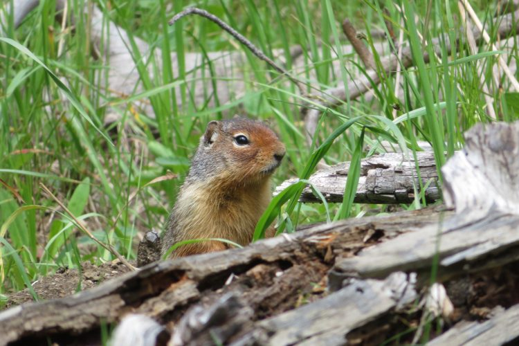 Chipmunk in Oregon