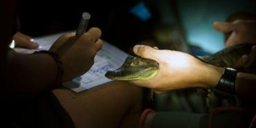 Collecting data on caimans in Costa Rica