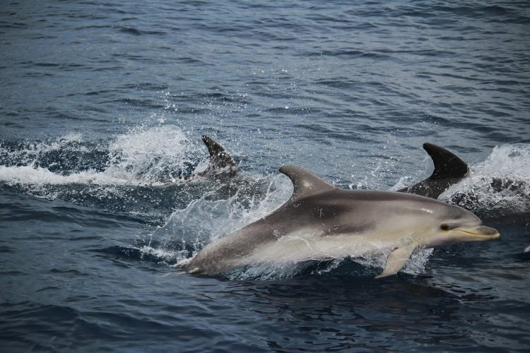 Common bottlenose dolphins in Italy