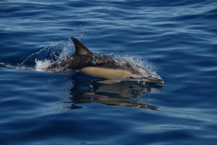 Common dolphin swimming in Algarve, Portugal