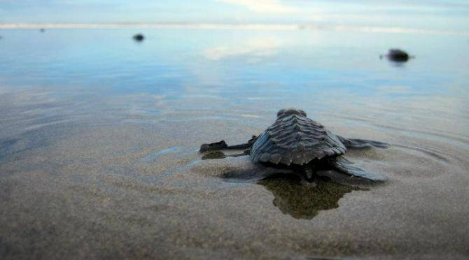 Baby turtle on beach in Costa Rica