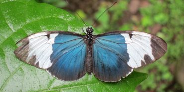 Volunteer with butterflies in Costa Rica