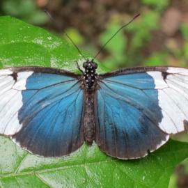 Volunteer with butterflies in Costa Rica