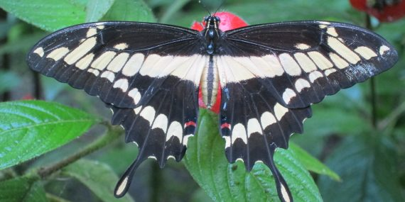 Swallowtail butterfly Costa Rica