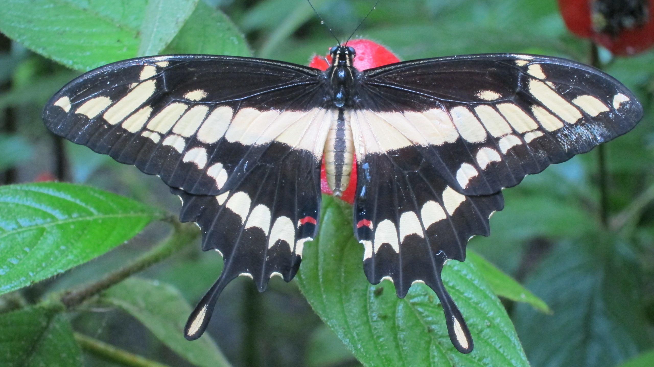 Playa Tortuga Butterfly Garden Volunteering Project, Costa Rica