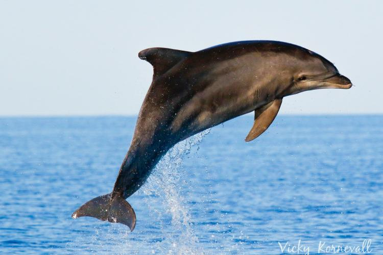 Bottlenose dolphin jumping high up out of the water