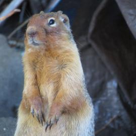 Cute picture of a chipmunk in Oregon