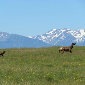 Deer running across the prairie