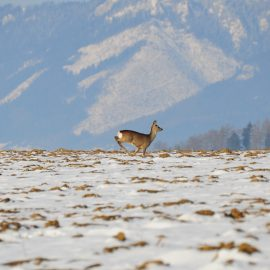 Deer running in Slovakia