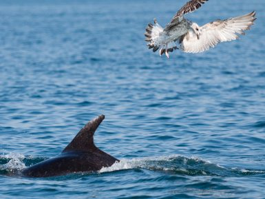 Dolphin and sea gull fighting over food