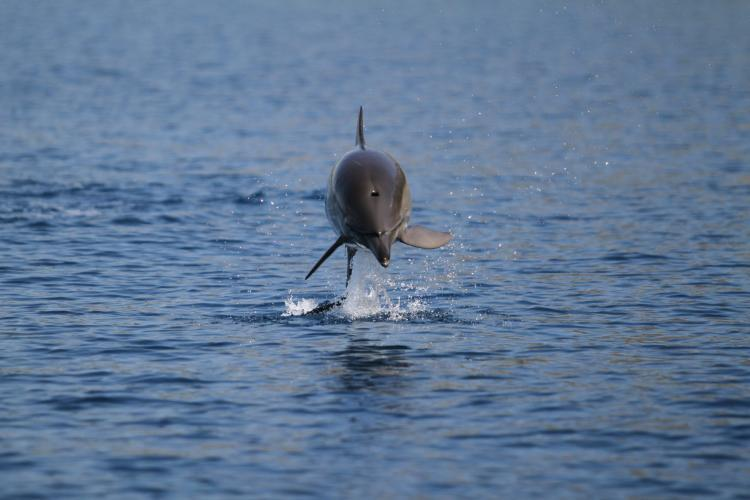 Dolphin jumping from behind