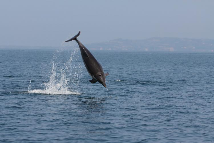 Dolphin jumping in Greece