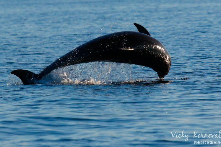 Dolphin jumping in Croatia