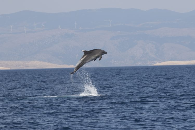 Dolphin jumping in the distance