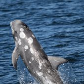 Dolphin Research Volunteer & Internship Project, Spain