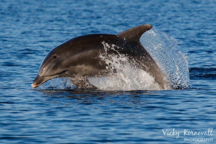 Bottlenose dolphin research in Croatia