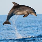 Bottlenose Dolphin Volunteer Research Project, Croatia