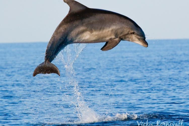 Dolphin jumping very high in Adriatic sea