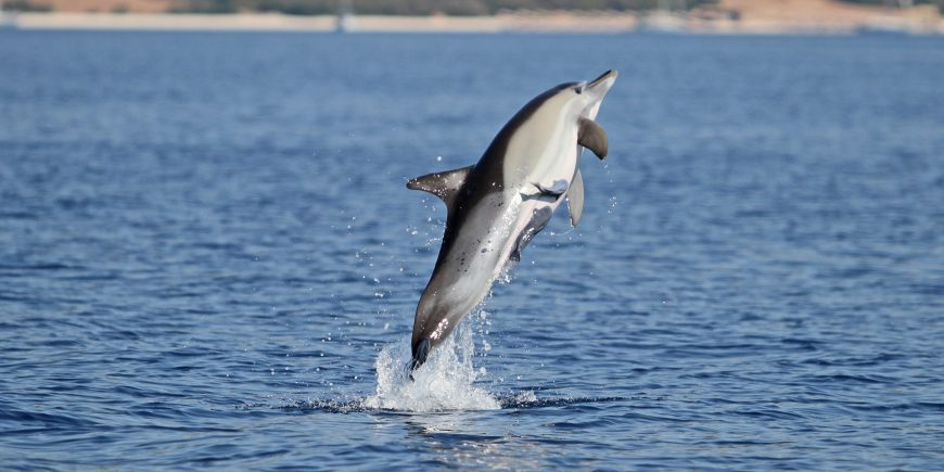 Dolphin leaping in the air