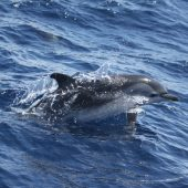 Dolphin & Whale Research Volunteer Project, Portugal