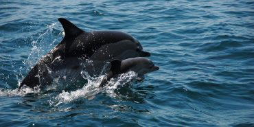 Dolphin and baby swimming in Portugal