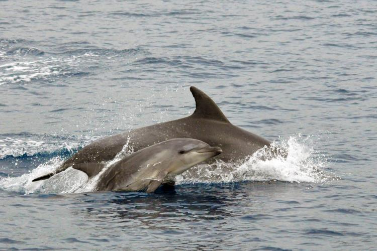 Dolphin with baby in Italy