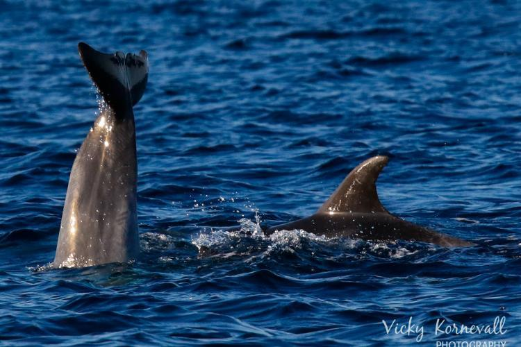 Watch dolphins playing in Croatia