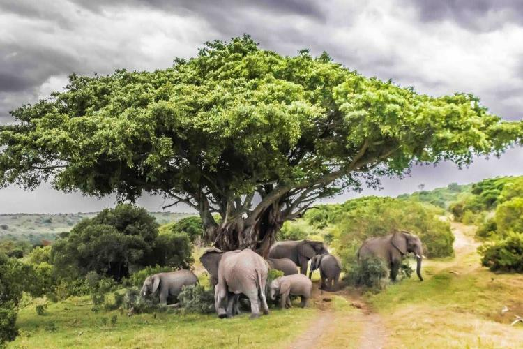Elephants in South Africa gathering under a tree