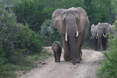 Elephants walking in South Africa