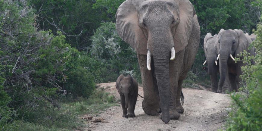 Elephants walking in South Africa