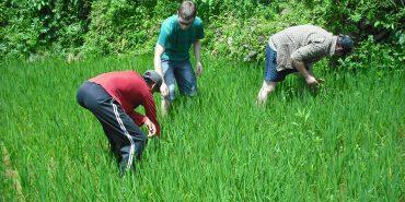 Volunteers planting rice in Nepal