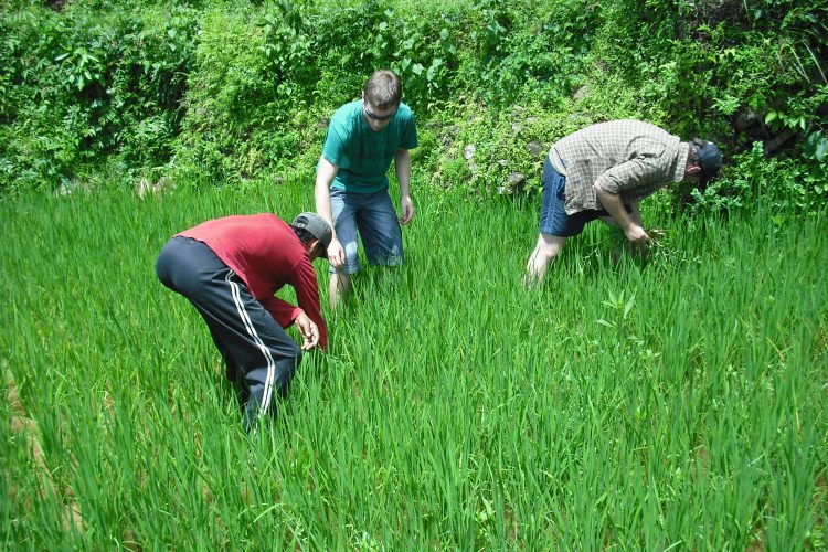 Volunteers planting rice in Nepal
