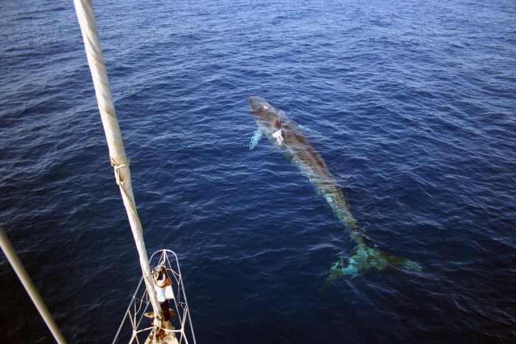 Fin whale swimming next to research vessel in Italy