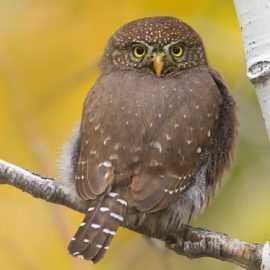 Owl at Galena Creek in Nevada