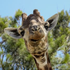 Giraffe close up in Kariega Game Reserve