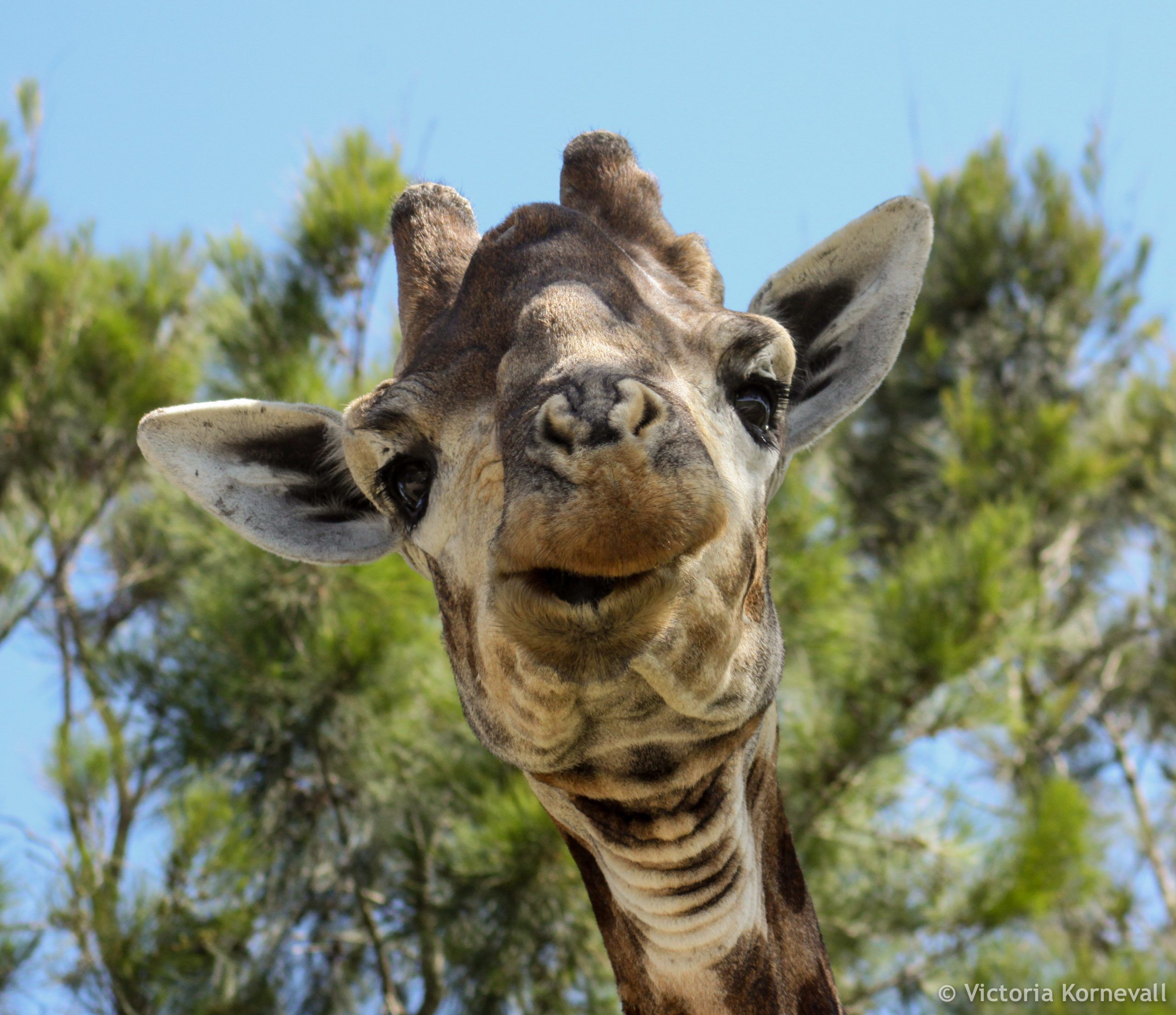Giraffe close up in Kariega Game Reserve