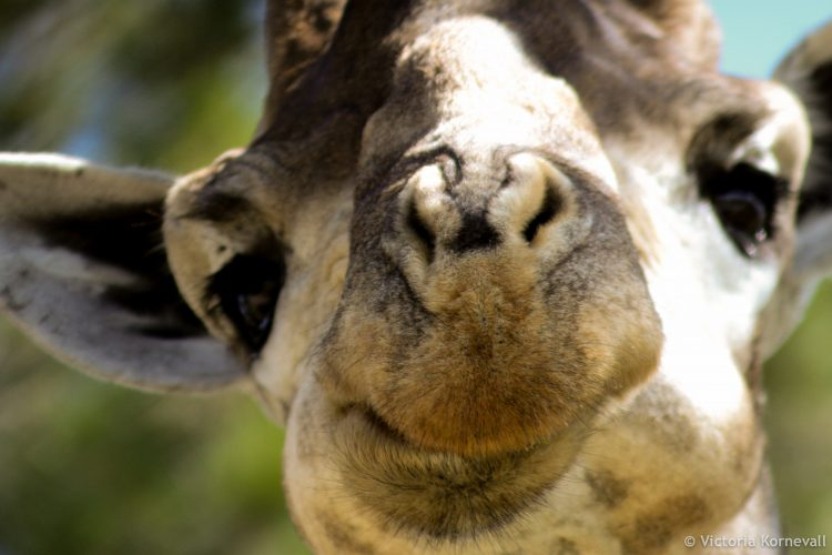 Close up of giraffe looking right into camera