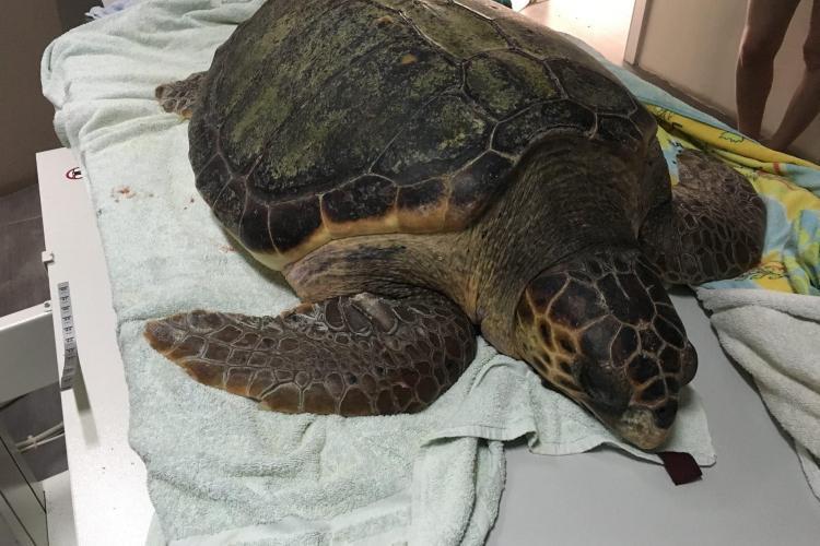 Adult sea turtle in Kefalonia