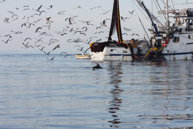 Dolphins are attracted to fishing boats