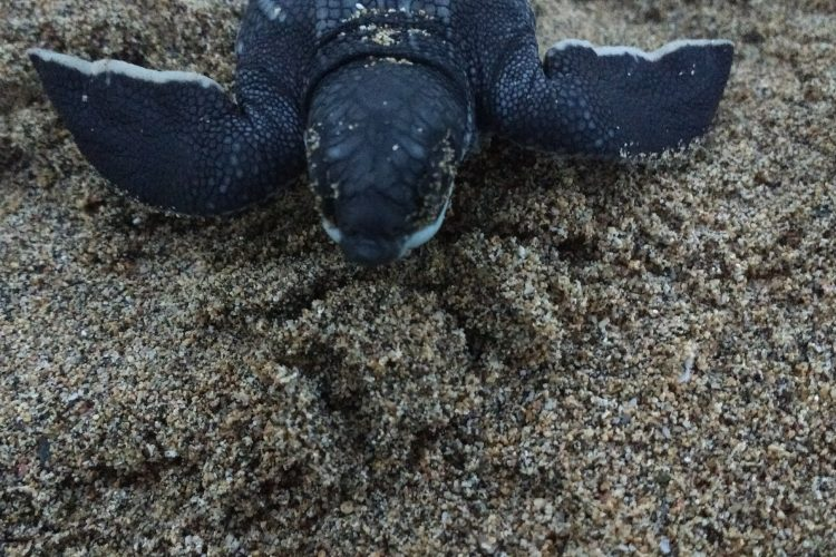 Leatherback hatchling close up