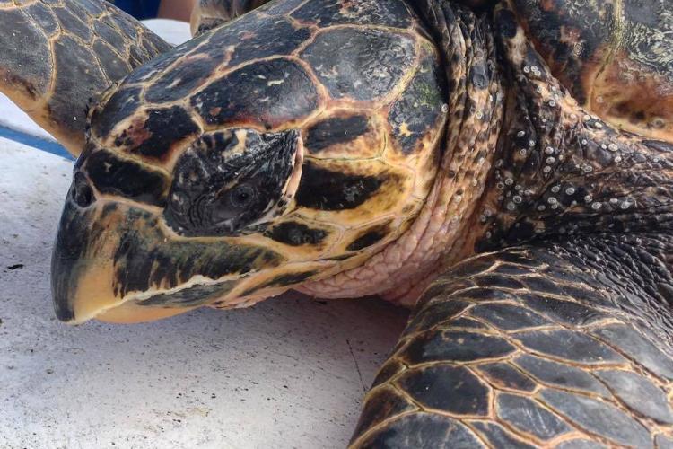Hawksbill turtle in Grenada