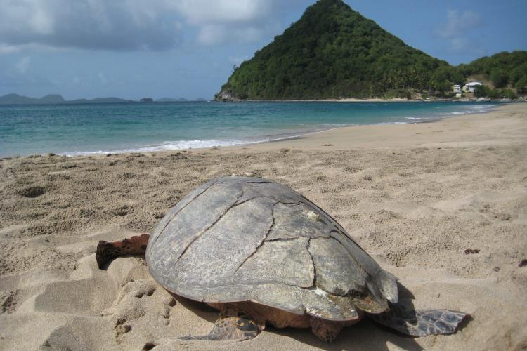 Hawksbill turtle on beach in Grenada