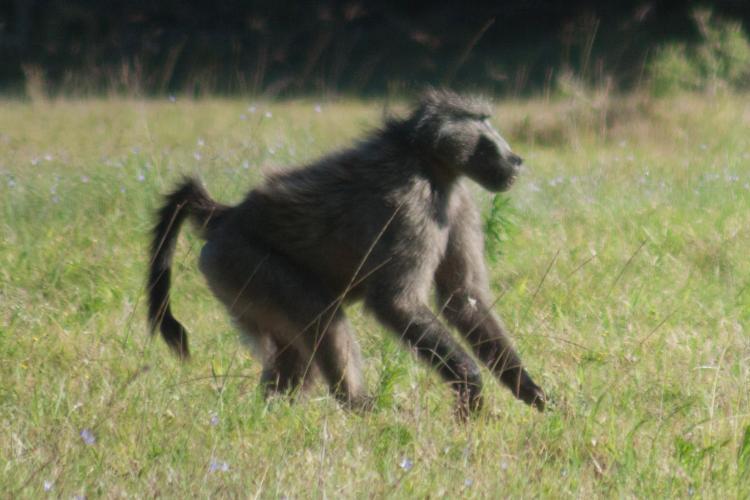 Baboon at Kariega Game reserve