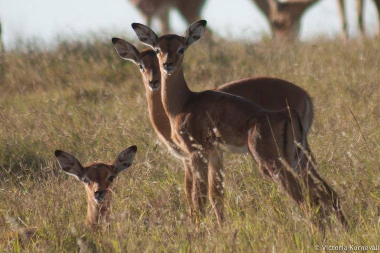 Baby impalas looking direct at the camera