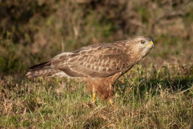 Buzzard in Kariega Game reserve