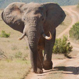 Elephant bull walking towards us in Kariega