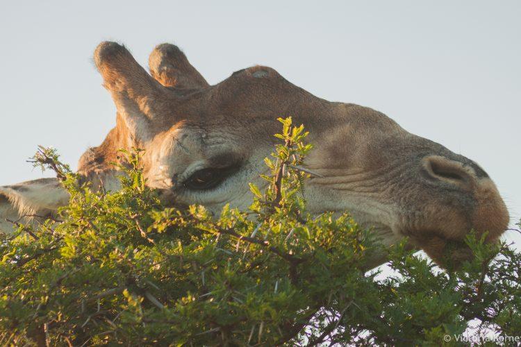 Giraffe eating acacia tree