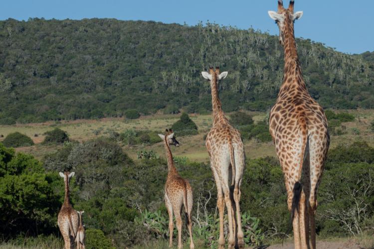 Giraffe traffic jam at Kariega