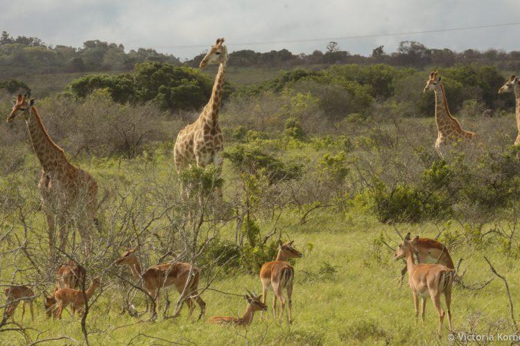 Giraffe and impalas at Kariega Game Reserve