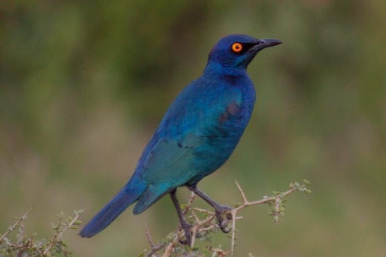 Glossy starling in South Africa